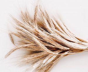 Kamut Vs Wheat